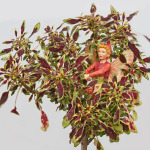 Coleus, Mini Autumn-Leaf & Scarlet Pimpernel Fairy